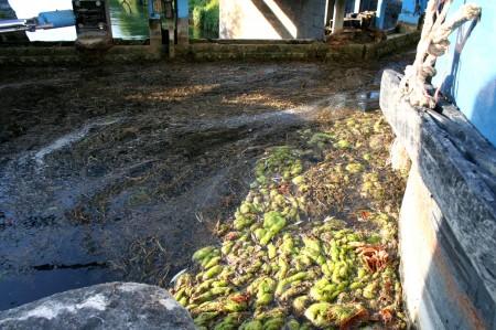 écluse envahie d'algues