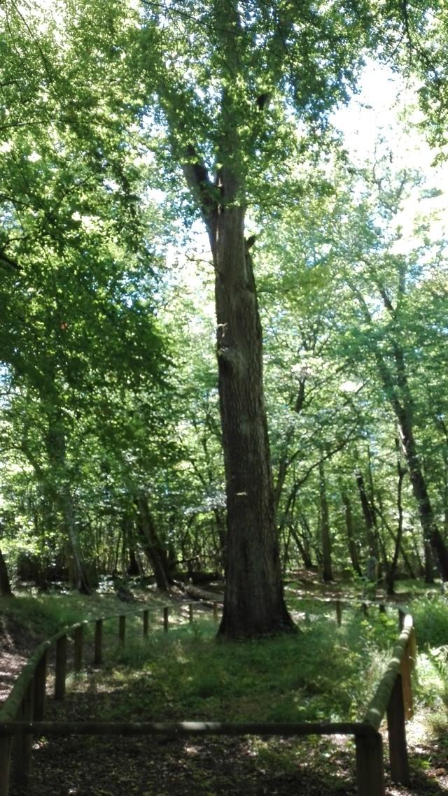 Chêne de St. Louis peniche kairos